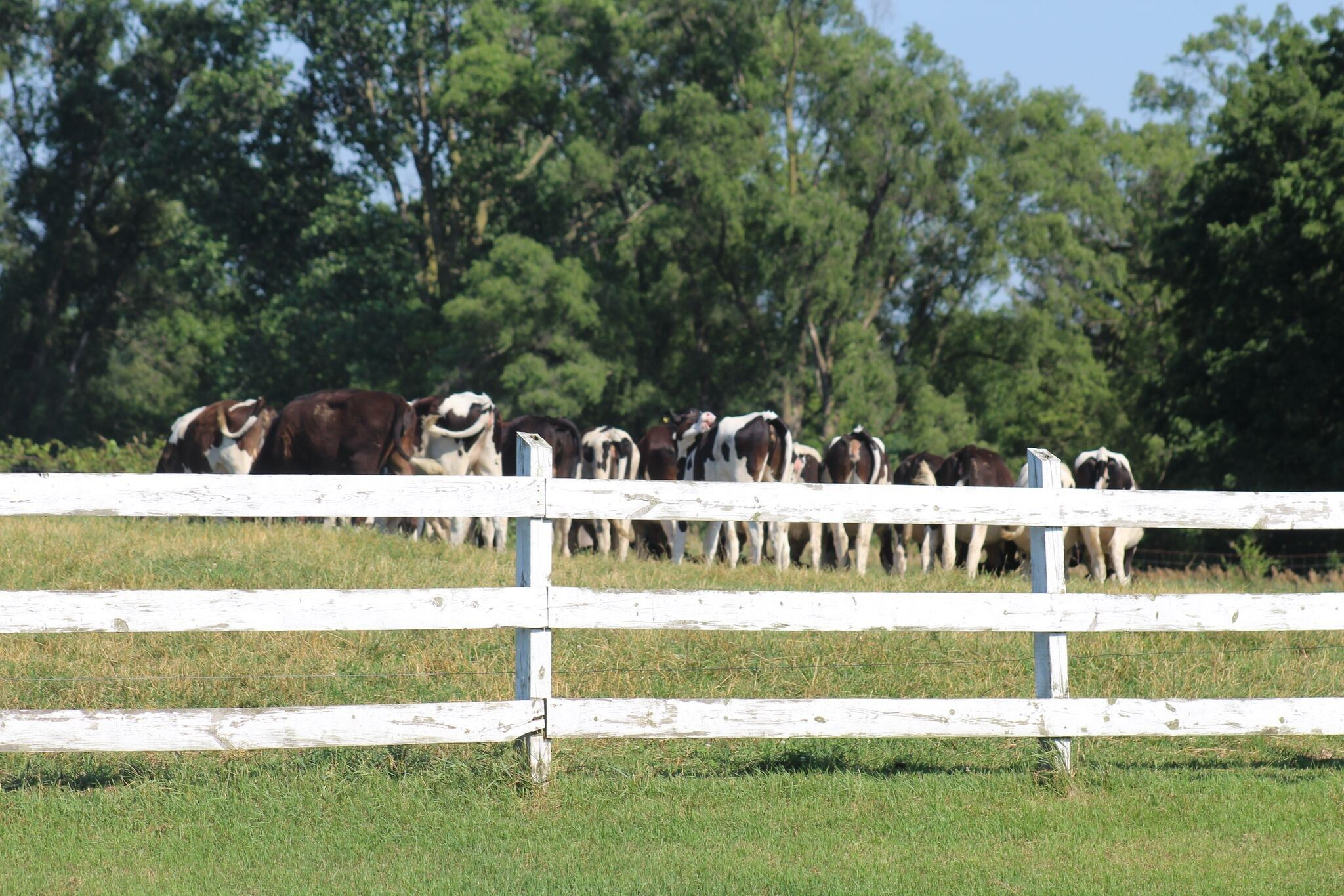 Cows at Pasture at Henricks-Krieger Dairy Farm